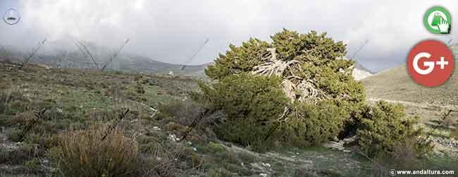 Ampliar la imagen de la Sabina Albar del Parque Natural Sierra María - Los Vélez