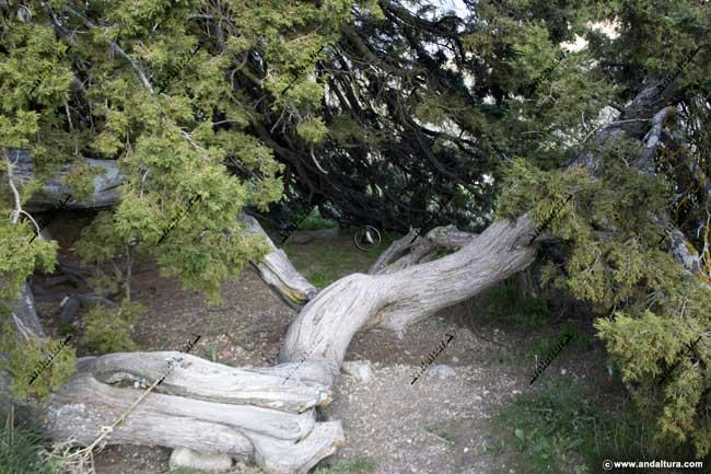 Detalle de la zona para acceder al interior del Monumento Natural Sabina Albar