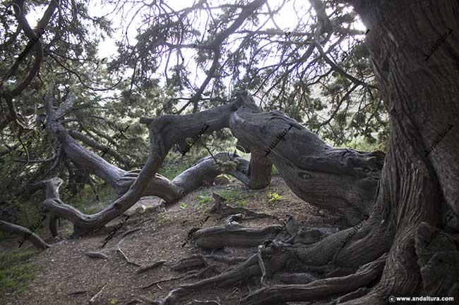 Detalle de la zona para entrar al interior del Monumento Natural de Andalucía: Sabina Albar