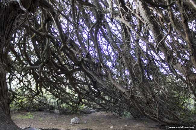 Detalle interior de la Sabina Albar del Parque Natural Sierra María - Los Vélez