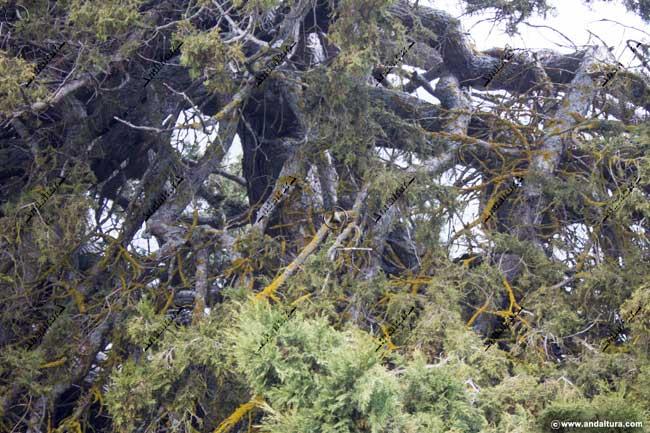 Detalle de las ramas del Monumento Natural Sabina Albar