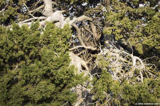 Detalle del tronco de la Sabina Albar milenaria visto desde el exterior