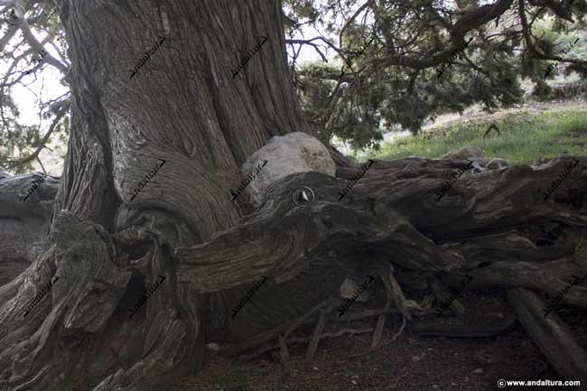 Detalle del tronco y de las raíces externas del Monumento Natural Sabina Albar