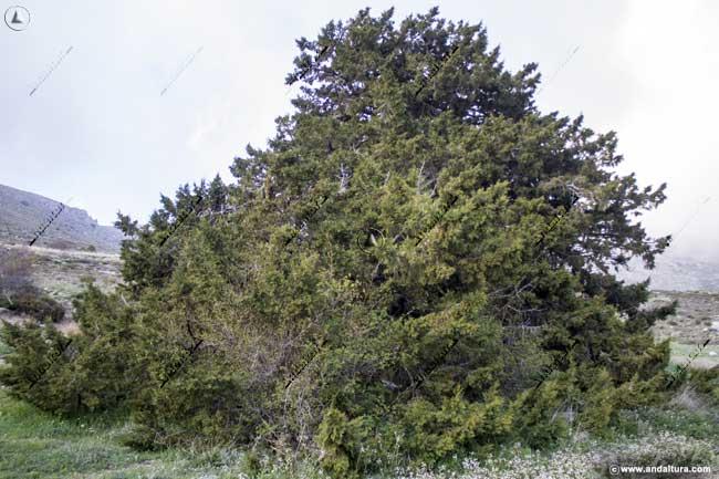 Monumento Natural Sabina Albar - Juníperos thurifera -