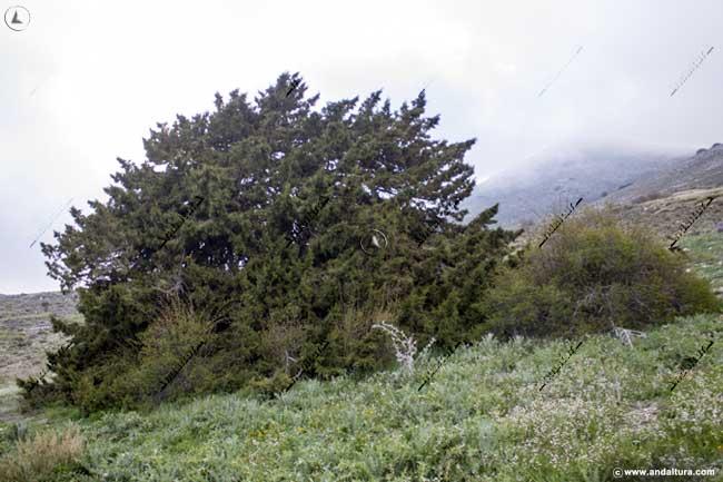 Monumento Natural Sabina Albar, Parque Natural Sierra María - Los Vélez