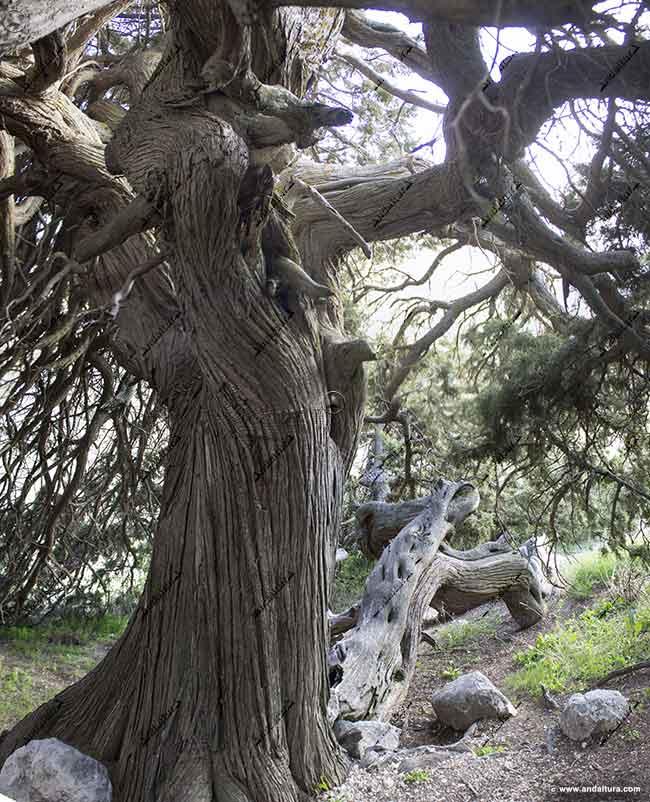 Tronco de la Sabina Albar declarada Monumento Natural de Andalucía
