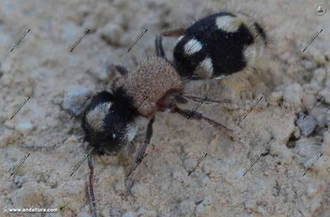 Hormiga Panda - Euspinolia militaris -