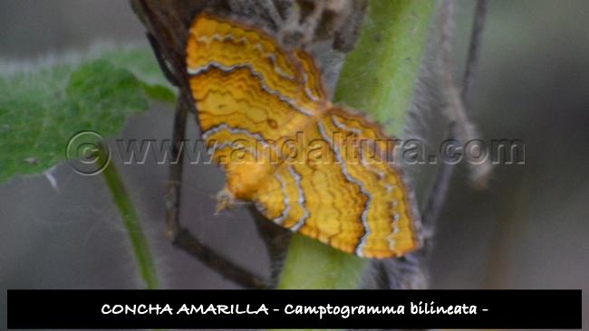 Concha Amarilla, Camptogramma bilineata