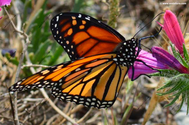 Mariposa Monarca - Ddanaus plexippus -
