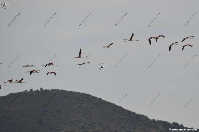 Flamencos sobrevolando la Reserva Natural Laguna de Fuente de Piedra