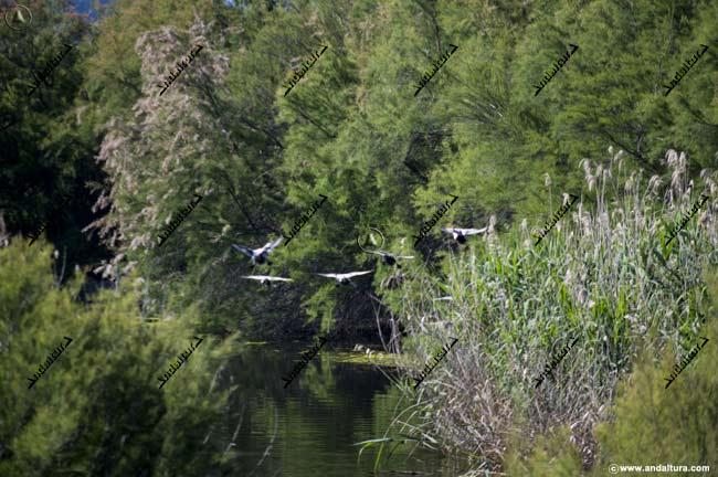Patos Cuchara llegando a la Laguna de Fuente de Piedra