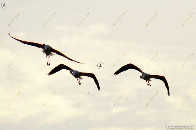 Trio de flamencos llegando a la Laguna de Fuente de Piedra