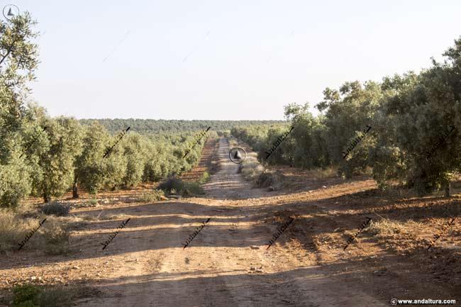 Atravesando olivares camino a Los Carvajales