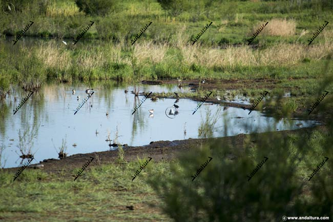 Aves en la Laguna de la Ratosa