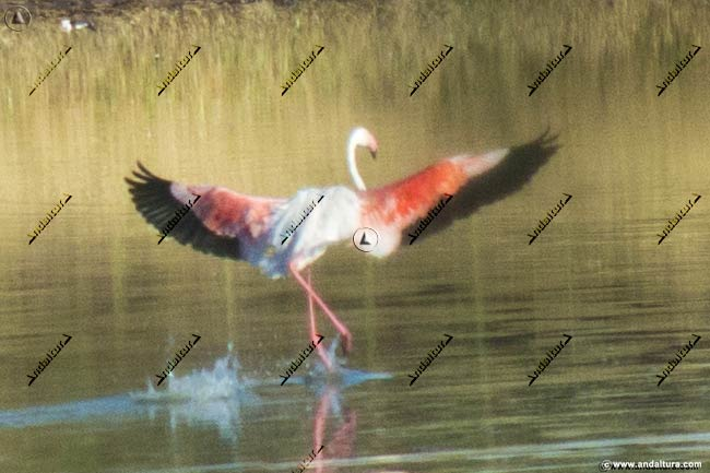 Flamenco iniciando el vuelo en la Laguna de la Ratosa