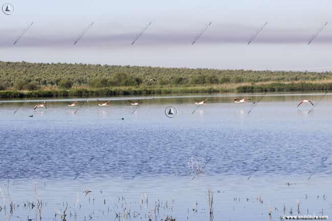 Flamencos llegando a la Laguna de la Ratosa