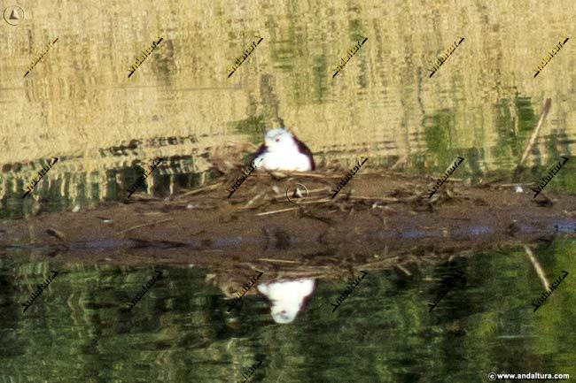Nido de Cigüeñuela en la Laguna de la Castañuela