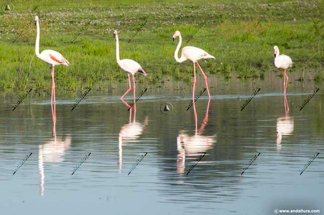 Flamencos rosas en la Laguna de la Ratosa