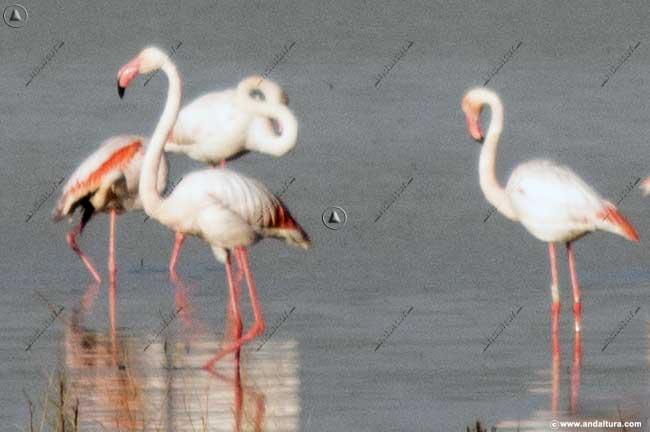 Flamencos rosa en la Laguna de la Ratosa