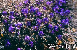 violeta-de-sierra-nevada
